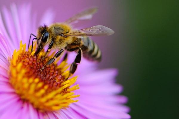Да поканим пчелите в градината си
