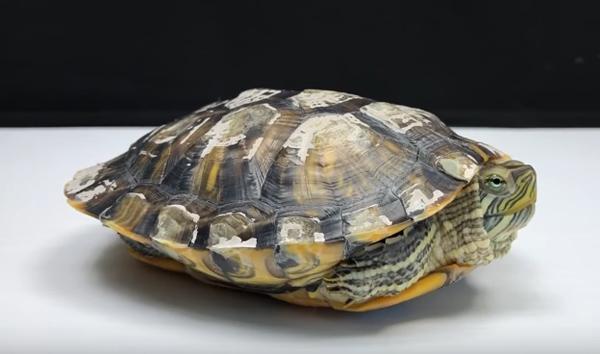 За какво да внимавате, когато отглеждате костенурка