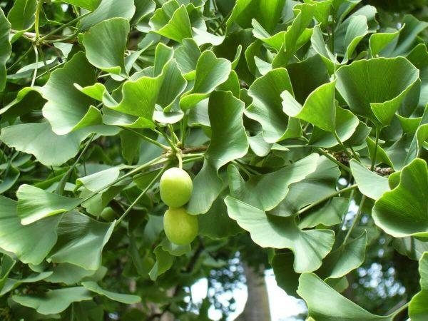 Гинко билоба - универсални свойства и ползи на растението