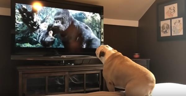 Кучето лае по телевизора – причини и решение